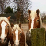 Paardrijden begint ver voor het rijden