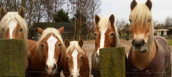haflingers, paardrijden, grondwerk, natural horsemanship