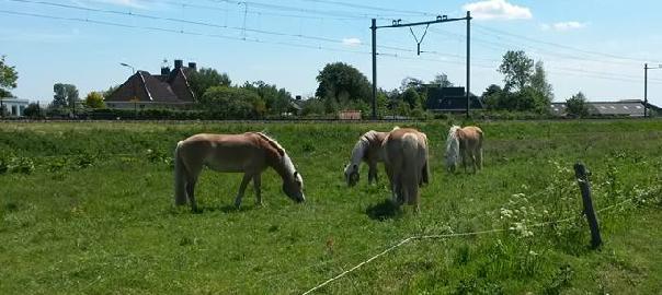 paarden op de wei