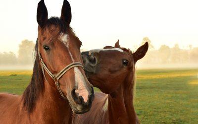 Zo kun je verantwoord een nieuw paard in de kudde introduceren